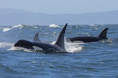 Orca (Orcinus orca) pod surfacing, Monterey Bay, California
