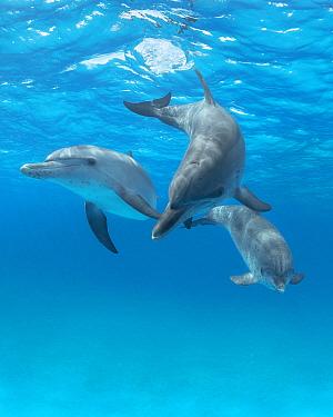 Atlantic Spotted Dolphin (Stenella frontalis) pod, Bahamas, Caribbean