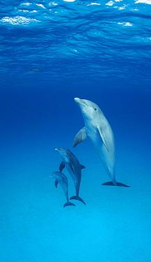 Bottlenose Dolphin (Tursiops truncatus) pod, Bahamas, Caribbean