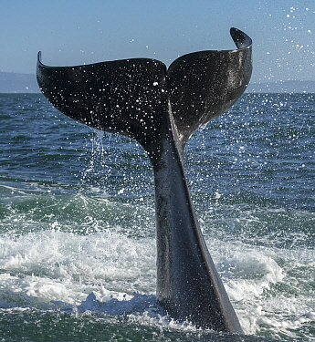 Orca (Orcinus orca) tail slapping, Monterey Bay, California
