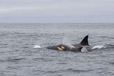 Orca (Orcinus orca) mother and calf surfacing, Monterey Bay, California