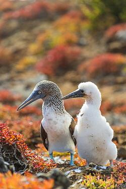 Blue-footed Booby (Sula nebouxii) parent with chick, Punta Pitt, San Cristobal Island, Galapagos Islands, Ecuador