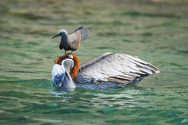 Brown Noddy (Anous stolidus) attempting to snatch fish from Brown Pelican (Pelecanus occidentalis), Cerro Brujo, San Cristobal Island, Galapagos Islands, Ecuador