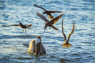 Brown Noddy (Anous stolidus) group attempting to snatch fish from Brown Pelican (Pelecanus occidentalis), Espumilla Beach, Santiago Island, Galapagos Islands, Ecuador