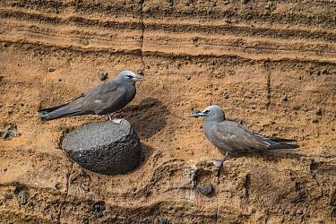 Brown Noddy (Anous stolidus) pair, Punta Vicente Roca, Isabela Island, Galapagos Islands, Ecuador