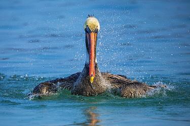 Brown Pelican (Pelecanus occidentalis) bathing, Santiago Island, Galapagos Islands, Ecuador