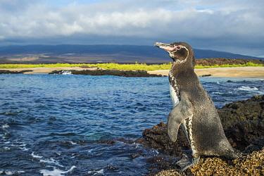 Galapagos Penguin (Spheniscus mendiculus) on coast, Cape Douglas, Fernandina Island, Galapagos Islands, Ecuador