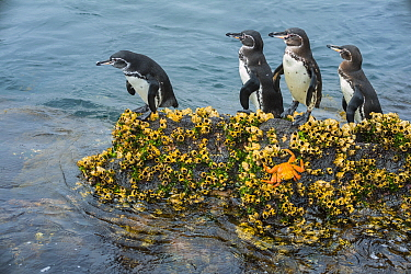 Galapagos Penguin (Spheniscus mendiculus) group, Cape Douglas, Fernandina Island, Galapagos Islands, Ecuador
