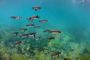 Galapagos Penguin (Spheniscus mendiculus) group swimming underwater, Cape Douglas, Fernandina Island, Galapagos Islands, Ecuador