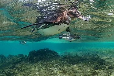 Galapagos Penguin (Spheniscus mendiculus) trio foraging, Santiago Island, Galapagos Islands, Ecuador