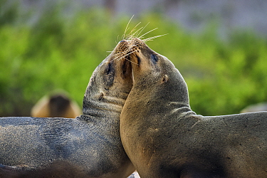 Galapagos Sea Lion (Zalophus wollebaeki) pair greeting, Santa Fe Island, Galapagos Islands, Ecuador