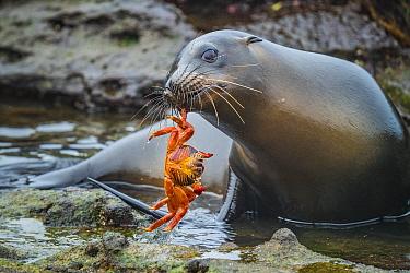 Galapagos Sea Lion (Zalophus wollebaeki) with Sally Lightfoot Crab (Grapsus grapsus) prey, Plazas Island, Galapagos Islands, Ecuador