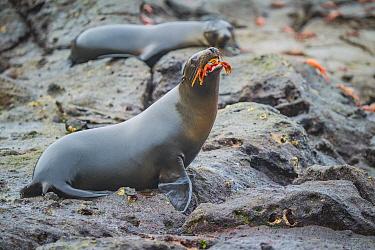 Galapagos Sea Lion (Zalophus wollebaeki) swallowing Sally Lightfoot Crab (Grapsus grapsus) prey, Plazas Island, Galapagos Islands, Ecuador