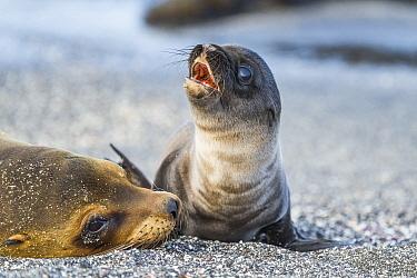 Galapagos Sea Lion (Zalophus wollebaeki) pup calling with mother, Punta Espinosa, Fernandina Island, Galapagos Islands, Ecuador