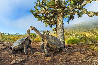 Pinzon Island Tortoise (Chelonoidis nigra ephippium) pair fighting, Pinzon Island, Galapagos Islands, Ecuador