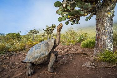 Pinzon Island Tortoise (Chelonoidis nigra ephippium) browsing, Pinzon Island, Galapagos Islands, Ecuador