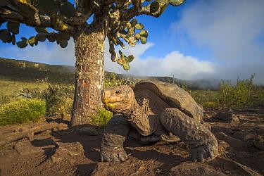 Pinzon Island Tortoise (Chelonoidis nigra ephippium), Pinzon Island, Galapagos Islands, Ecuador