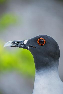 Swallow-tailed Gull (Creagrus furcatus), Genovesa Island, Galapagos Islands, Ecuador