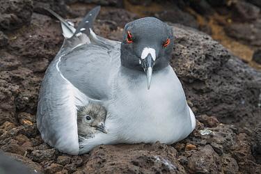 Swallow-tailed Gull (Creagrus furcatus) parent brooding chick, Plazas Island, Galapagos Islands, Ecuador
