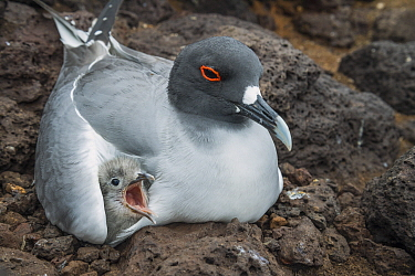 Swallow-tailed Gull (Creagrus furcatus) parent brooding chick, Plazas Island, Galapagos Islands, Ecuador
