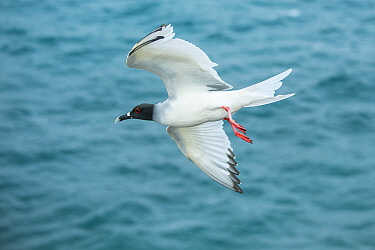 Swallow-tailed Gull (Creagrus furcatus) flying, Plazas Island, Galapagos Islands, Ecuador