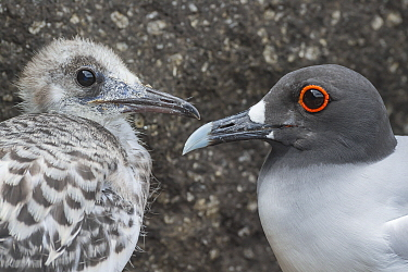 Swallow-tailed Gull (Creagrus furcatus) chick and parent, Plazas Island, Galapagos Islands, Ecuador