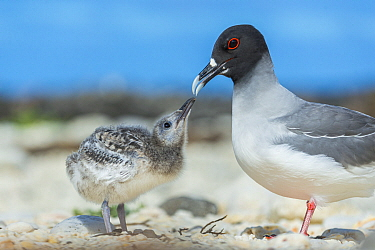 Swallow-tailed Gull (Creagrus furcatus) parent with begging chick, Genovesa Island, Galapagos Islands, Ecuador