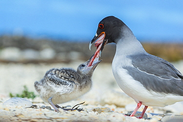 Swallow-tailed Gull (Creagrus furcatus) parent feeding chick, Genovesa Island, Galapagos Islands, Ecuador