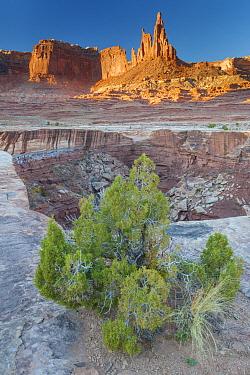 Utah Juniper (Juniperus osteosperma) tree and sandstone rock formation, Canyonlands National Park, Utah