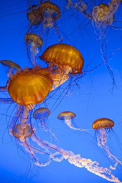 Pacific Sea Nettle (Chrysaora fuscescens) jellyfish, captive, California