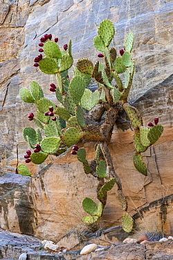 Engelmann Prickly Pear (Opuntia engelmannii) cactus with ripe fruit, Clear Creek Canyon, Colorado River, Grand Canyon National Park, Arizona