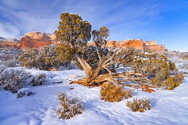 Utah Juniper (Juniperus osteosperma) tree in winter, Canyonlands National Park, Utah