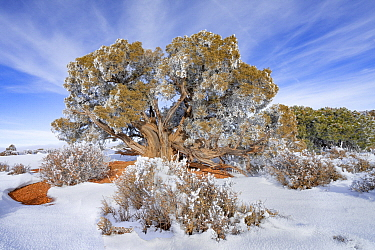 Utah Juniper (Juniperus osteosperma) tree with hoarfrost, Grand View Point, Canyonlands National Park, Utah