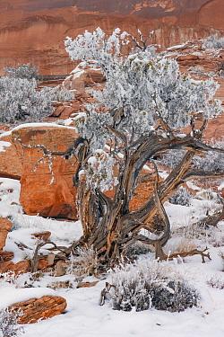 Utah Juniper (Juniperus osteosperma) tree with hoarfrost, Grand View Point, Canyonlands National Park, Utah