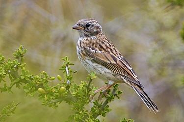 Rufous-collared Sparrow (Zonotrichia capensis) juvenile, Puerto Madryn, Argentina