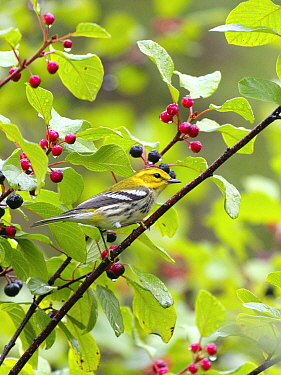 Black-throated Green Warbler (Setophaga virens) male in autumn, Nova Scotia, Canada