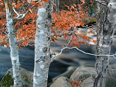 American Beech (Fagus grandifolia) trees and river in autumn, Bear River, Nova Scotia, Canada
