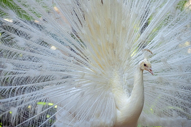 Indian Peafowl (Pavo cristatus) albino male displaying, Bali Bird Park, Bali, Indonesia