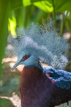 Southern Crowned-Pigeon (Goura scheepmakeri), Bali Bird Park, Bali, Indonesia