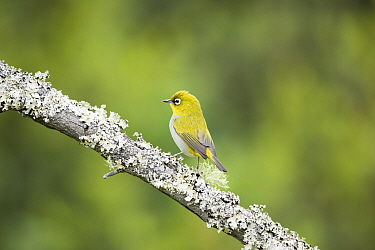 Cape White-eye (Zosterops capensis), Garden Route National Park, South Africa