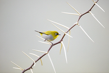 Cape White-eye (Zosterops capensis) perching on thorns, Garden Route National Park, South Africa