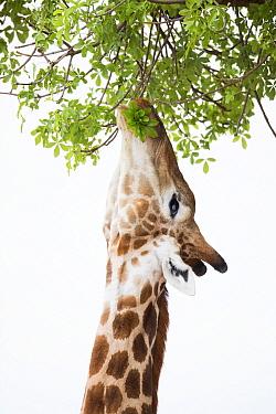 Giraffe (Giraffa camelopardalis) browsing on Baobab (Adansonia digitata), Mapungubwe National Park, South Africa