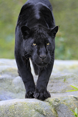 Jaguar (Panthera onca), melanistic morph, native to the Americas