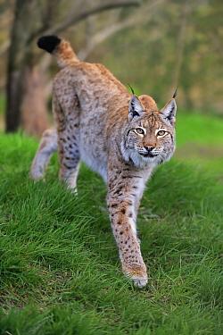 Eurasian Lynx (Lynx lynx), native to Europe
