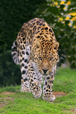 Northern Chinese Leopard (Panthera pardus japonensis), native to Asia
