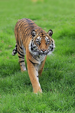 Sumatran Tiger (Panthera tigris sumatrae), native to Asia