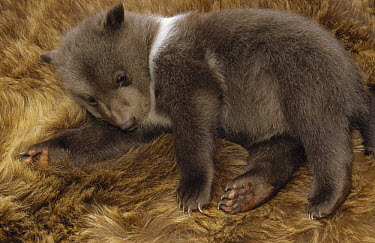 Kodiak Bear (Ursus arctos middendorffi) four week old cub, native to Kodiak Island, Alaska  -  Matthias Breiter