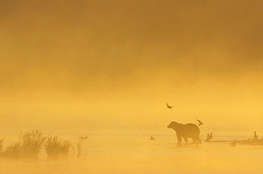 Grizzly Bear (Ursus arctos horribilis) with seagulls at the mouth of Brooks River in morning fog, Katmai National Park, Alaska  -  Matthias Breiter