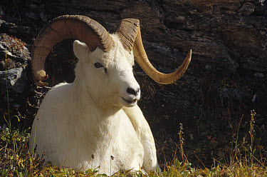 Dall's Sheep (Ovis dalli) ram with split horn, Denali National Park and Preserve, Alaska  -  Matthias Breiter