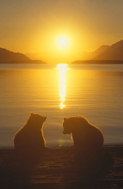 Grizzly Bear (Ursus arctos horribilis) cubs silhouetted against water at sunrise, Katmai National Park, Alaska  -  Matthias Breiter